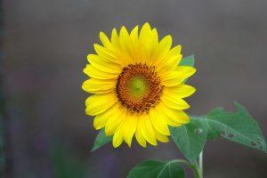 Slunecnice-1